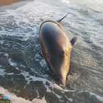 Salvan a un delfín en la Playa de Almuñécar