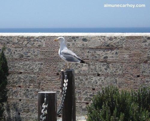 Gaviota en el Castillo de Almuñécar