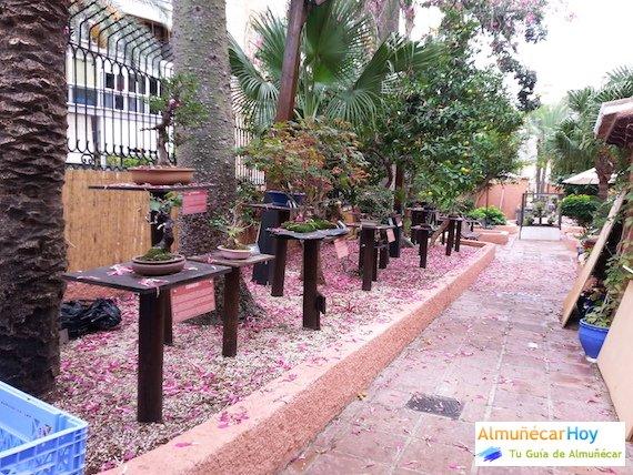 Hay bonsáis autóctonos con flora mediterránea como olivo, acebuches, almendros, granados, encinas, alcornoques