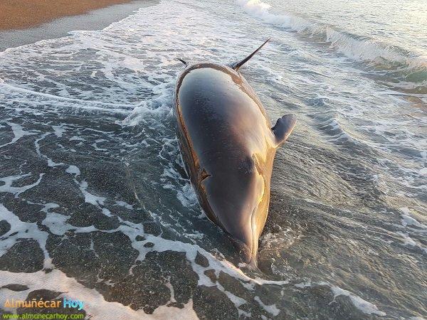 Salvan a un delfín vivo que había quedado varado en las Playas de Almuñécar